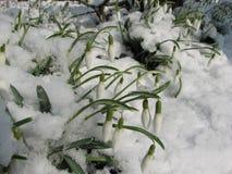 Sneeuwklokjes Royalty-vrije Stock Afbeeldingen