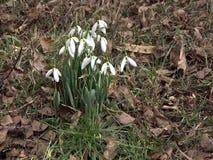 Sneeuwklokjes in aard in hout met geluiden van wilde vogels Het eerste sneeuwklokje van de lentebloemen met vogelsliederen stock video