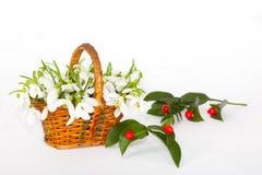 Sneeuwklokjes in bakje met rode bessen Royalty-vrije Stock Foto's