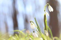 Sneeuwklokjes in de bos de Lentebloemen de lente het bos Lopen in de bosrest en de bloemen Zonnige dag De lente zonnige ochtend stock foto's