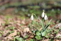 Sneeuwklokjes in de bos de Lentebloemen de lente het bos Lopen in de bosrest en de bloemen Zonnige dag De lente zonnige ochtend stock fotografie