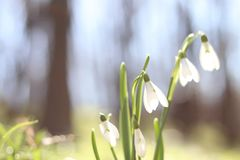 Sneeuwklokjes in de bos de Lentebloemen de lente het bos Lopen in de bosrest en de bloemen Zonnige dag De lente zonnige ochtend stock afbeelding