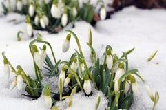 Sneeuwklokjes in de lente Stock Foto's