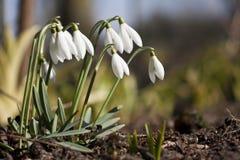 Sneeuwklokjes in de lente Stock Foto