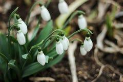 Sneeuwklokjes in de lente Stock Afbeeldingen