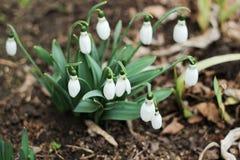 Sneeuwklokjes in de lente op het gazon Stock Foto