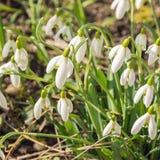 Sneeuwklokjes - de lente zal omhoog komt Stock Afbeelding