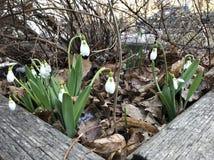 Sneeuwklokjes in de vroege lente stock afbeeldingen