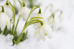Sneeuwklokjes die in Sneeuw groeien Royalty-vrije Stock Foto