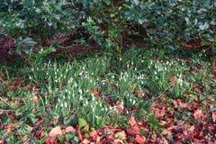 Sneeuwklokjes die tussen de gevallen bladeren in de Februari-zon bloeien stock foto