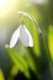 Sneeuwklokjes die in zonnige dag bloeien De lente is aangekomen Royalty-vrije Stock Fotografie