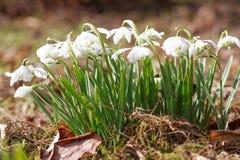 Sneeuwklokjes in een de lentetuin Stock Afbeeldingen