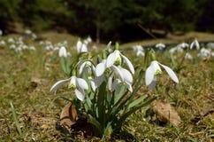 Sneeuwklokjes (Galanthus-nivalis) Royalty-vrije Stock Afbeeldingen