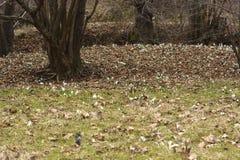 Sneeuwklokjes (Galanthus-nivalis) in een bos Stock Foto