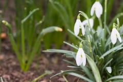 Sneeuwklokjes in groen gras royalty-vrije stock foto's