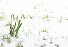 Sneeuwklokjes Stock Afbeeldingen
