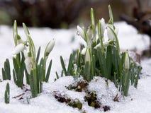 Sneeuwklokjes in sneeuw Stock Foto
