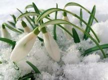 Sneeuwklokjes in sneeuw Royalty-vrije Stock Foto's