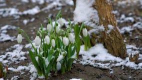 Sneeuwklokjes tijdens sneeuwval en wind stock footage