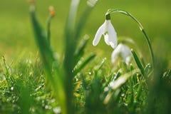 Sneeuwklokjesbloem met schitterend gras Stock Foto's