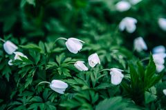 Sneeuwklokjesbloemen in de lente, bloemenbehang Stock Afbeeldingen