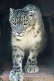 Sneeuwluipaard Royalty-vrije Stock Afbeelding