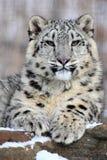 Sneeuwluipaard Royalty-vrije Stock Foto