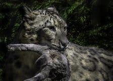 Sneeuwluipaard het Eten royalty-vrije stock afbeeldingen