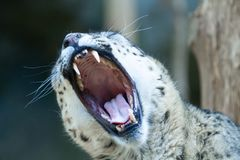 Sneeuwluipaard het openen mond wijd en gebrul Stock Foto