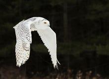 Sneeuwowl flying stock foto's