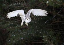 Sneeuwowl taking flight stock fotografie