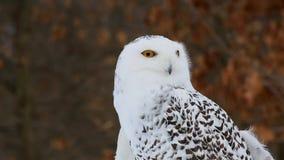 Sneeuwowl video - sluit omhoog stock videobeelden