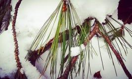 Sneeuwpijnbomen Royalty-vrije Stock Fotografie