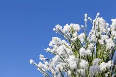 Sneeuwpijnboom in een zonnige de winterdag stock foto