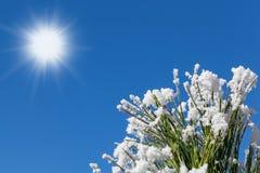 Sneeuwpijnboom in een zonnige de winterdag stock foto's