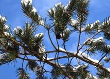 Sneeuwpijnboom en denneappel Royalty-vrije Stock Fotografie