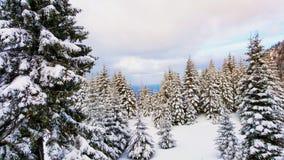 Sneeuwpijnboombomen in een bos Stock Foto's