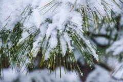 Sneeuwpijnboomnaalden, Royalty-vrije Stock Fotografie