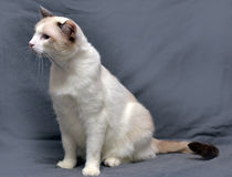 Sneeuwschoenkat Royalty-vrije Stock Foto's