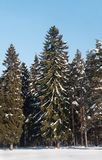 Sneeuwsparren in het bos royalty-vrije stock foto's