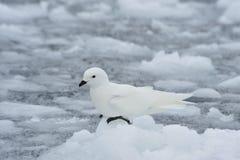 Sneeuwstormvogel die zich op het ijs bevinden Royalty-vrije Stock Foto's