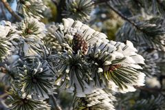 Sneeuwtak van pijnboom met kegel Stock Fotografie