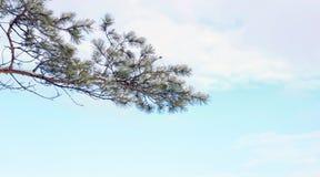 Sneeuwtak van pijnboomboom tegen blauwe hemel Stock Foto's
