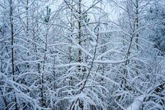 Sneeuwtakken van een boom stock afbeelding