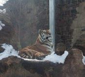 Sneeuwtijger Royalty-vrije Stock Foto's