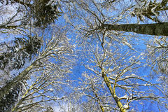 Sneeuwtreetops door blauwe hemel bij zonnige de winterdag Royalty-vrije Stock Foto