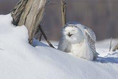 Sneeuwuil Stock Fotografie