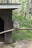 Sneeuwuil bij de openluchtdierentuin van Finland op een takslaap royalty-vrije stock afbeeldingen