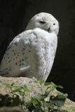 Sneeuwuil (Bubo-scandiacus) royalty-vrije stock fotografie