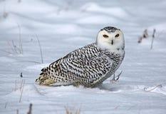 Sneeuwuil in de Sneeuw royalty-vrije stock afbeeldingen